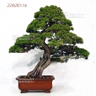 Portes ouvertes MAILLOT BONSAI (01) du 1er au 9 avril 2017