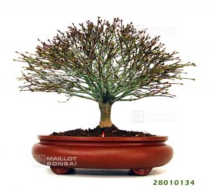 Hokidachi le style naturel du bonsai
