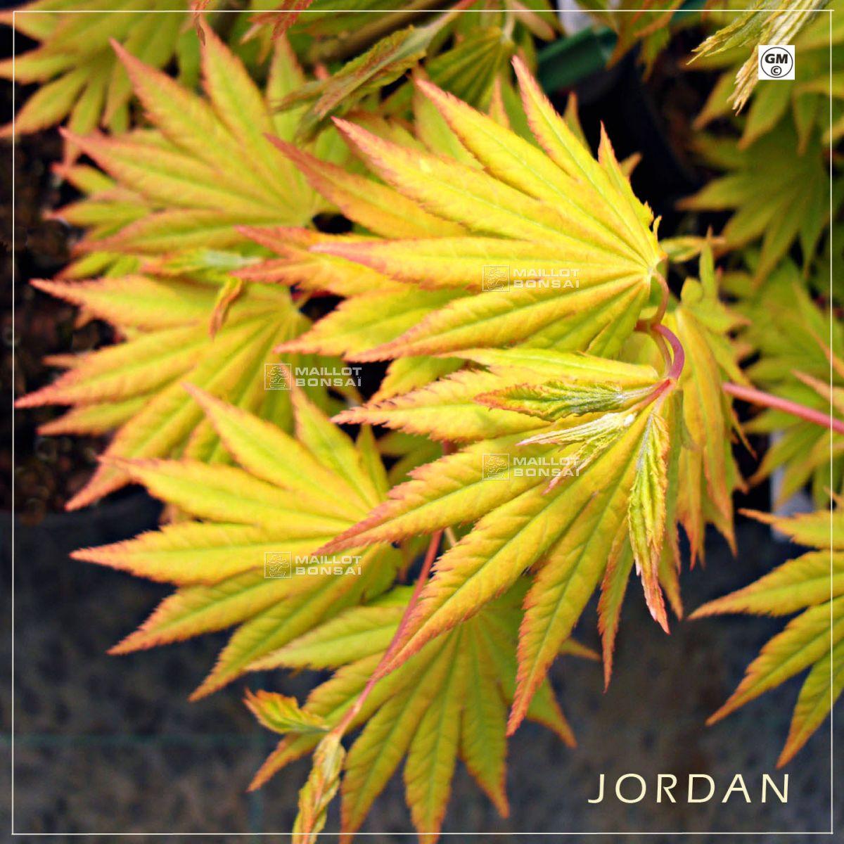 Acer Shirasawanum Jordan From Maillot Bonsaï The Store Maillot Bonsai