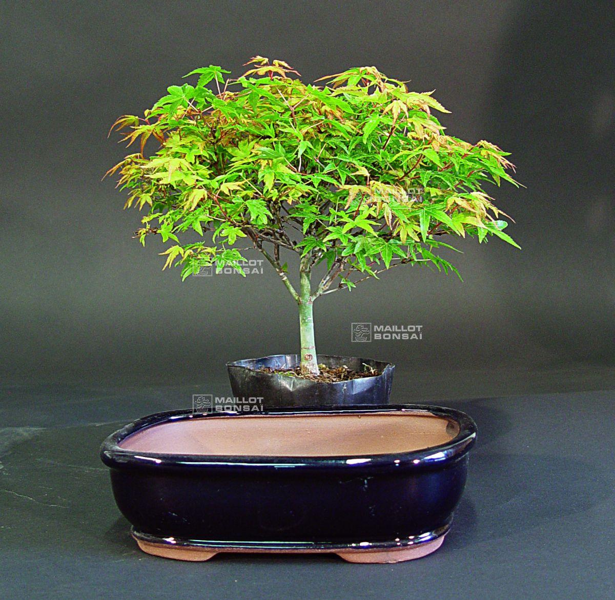 les lots de 2 de 3 lot pot bleu et erable palm kiyo hime de maillot bonsa la boutique. Black Bedroom Furniture Sets. Home Design Ideas
