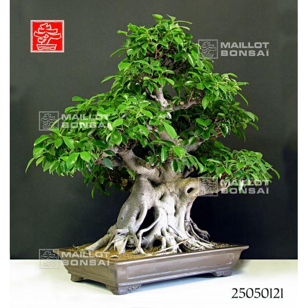 bonsa 239 d int 233 rieur vendu ficus retusa bonsai de maillot bonsa 239 la boutique maillot bonsai