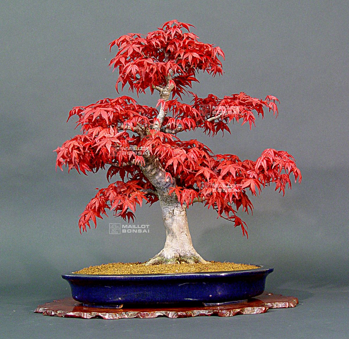 Erable Du Japon Petit deciduous bonsai erable rouge du japon ref: 24040135 from