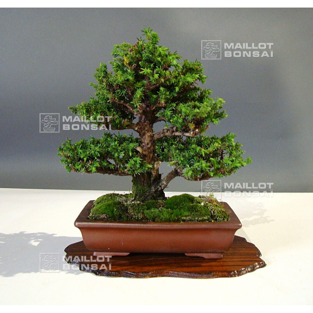 mini bonsai cryptomeria japonica ref 18090151 from. Black Bedroom Furniture Sets. Home Design Ideas