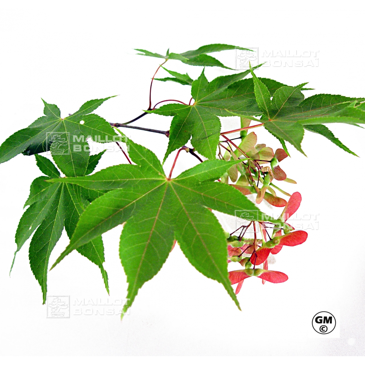 Acer Seeds And More Acer Amoenum Seeds Kurabu Yama From Maillot