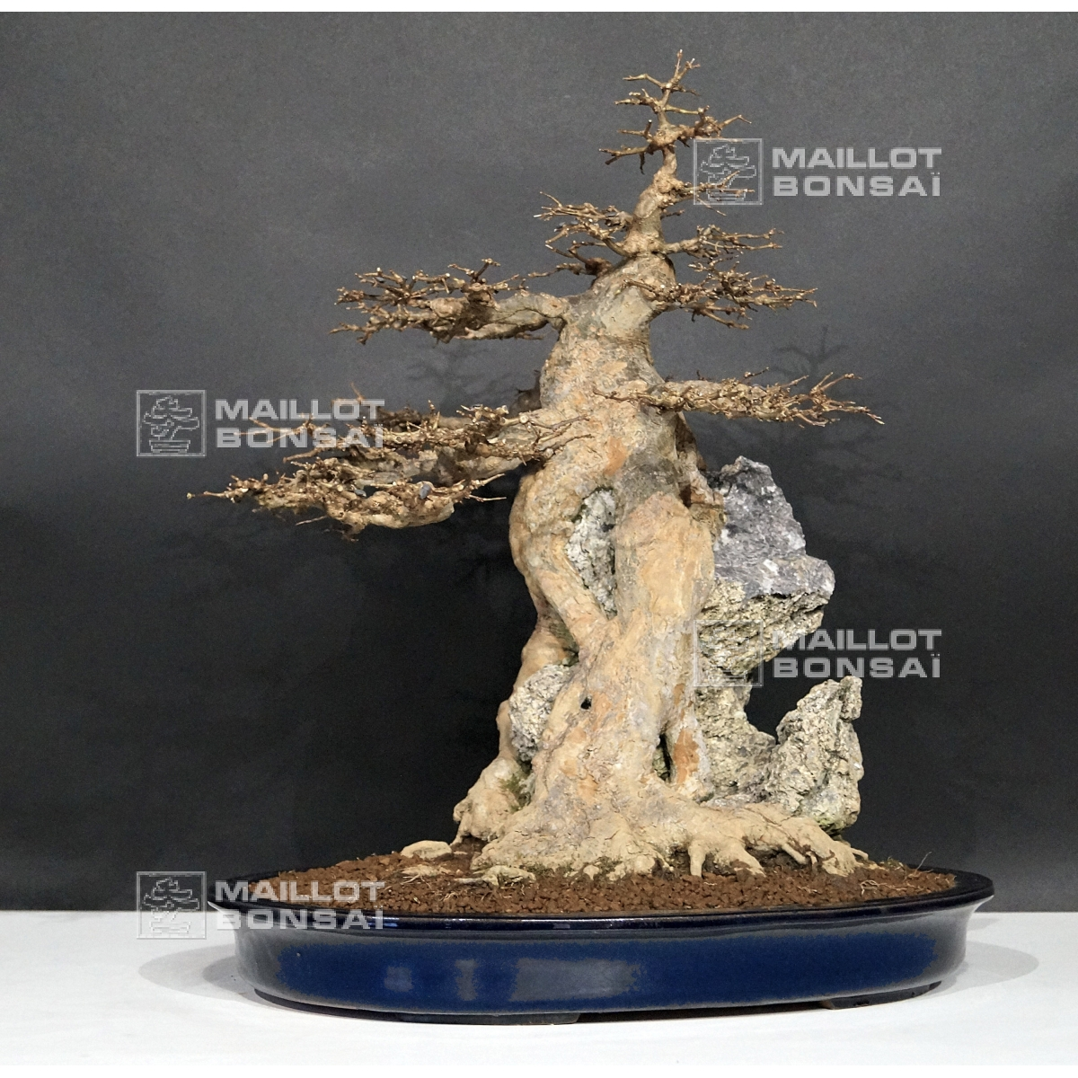 Bonsai Masterpieces Acer Buergerianum Bonsai Ref 02030162 From