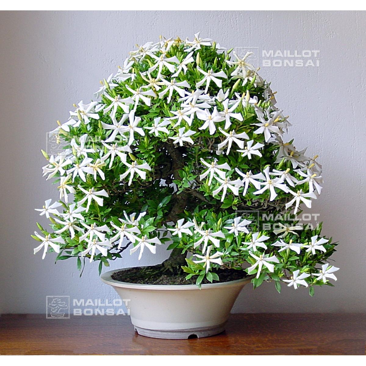 Bonsai Masterpieces Gardenia Jasminoides Bonsai Ref:24060151 From  Maillot Bonsaï   The Store MAILLOT BONSAI
