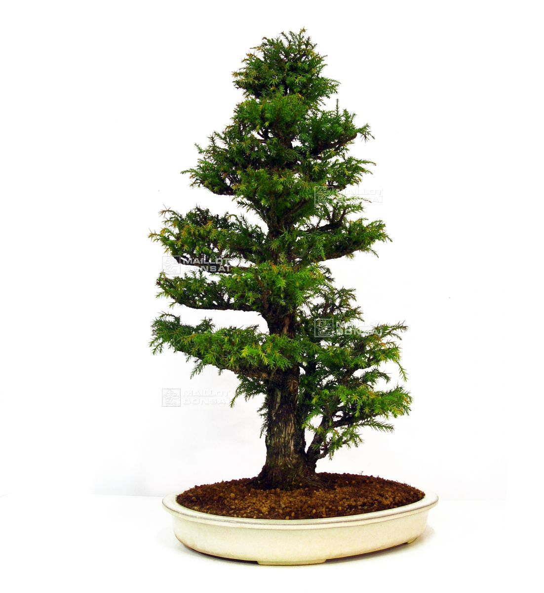 bonsai masterpieces cryptomeria japonica bonsai ref 14020147 from rh maillot bonsai com