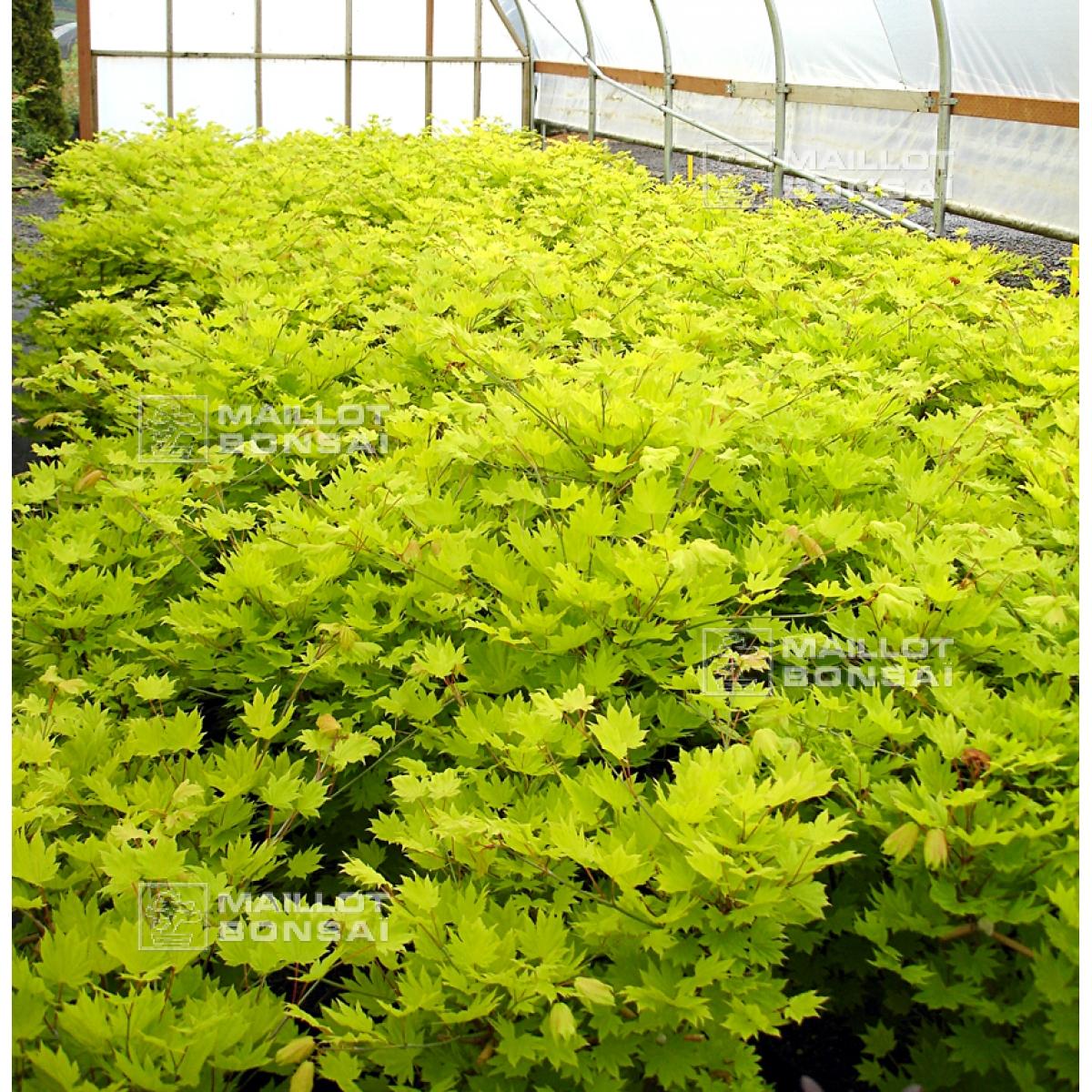 Acer Seeds And More Acer Shirasawanum Aureum Seeds From Maillot