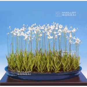 habenaria-radiata-vendu-a-l-unite-pot-bonsai
