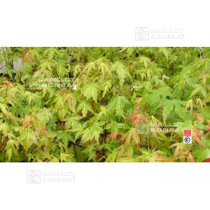 Acer PALMATUM set of 10 trees