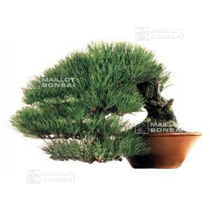 50-seeds-of-pinus-densiflora