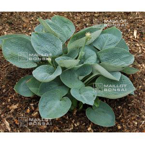 hosta-big-daddy