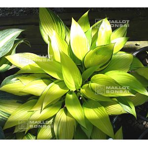 hosta-june-fever