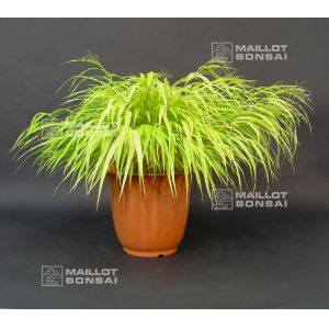 hakonechloa all gold livrée en pot plastique