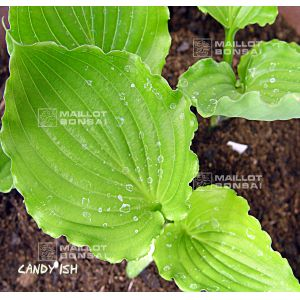 hosta-candy-dish