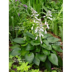 hosta-devon-green