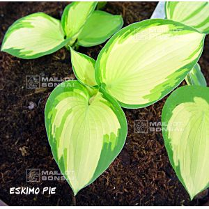 Hosta eskimo pie