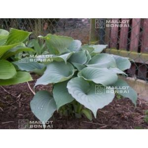 hosta-moonlight-sonata