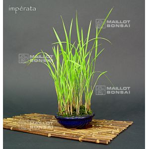 imperata-cylindrica-red-grass