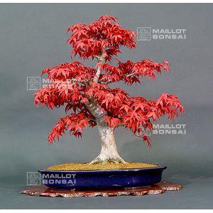 acheter bonsai erable rouge. Black Bedroom Furniture Sets. Home Design Ideas