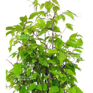 carpinus-japonica-1-single-tree