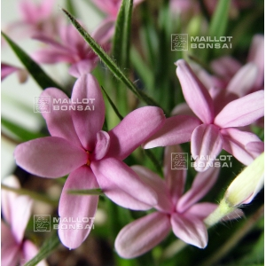 rhodohypoxis-baurii-select-pot-1-4-litre