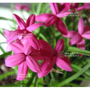 rhodohypoxis-claudia-1-4-litre-pot