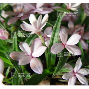 rhodohypoxis-ruth-pot-1-4-litre