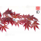 acer-palmatum-seeds-attraction