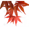 graines d'acer amoenum whitney red
