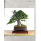 Bonsai focus magazine 108