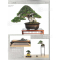 BONSAI FOCUS N° 108