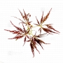 set-of-6-bags-of-seeds-japanese-maple