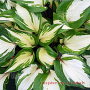 hosta-raspberry-sundae