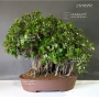 ficus formosana bonsai ref : 25090151