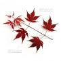 graines-d-acer-palmatum-purple-ghost