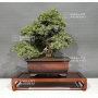 juniperus-rigida-11050184