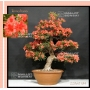 rhododendron kin no hana 22060184 PROMOTION