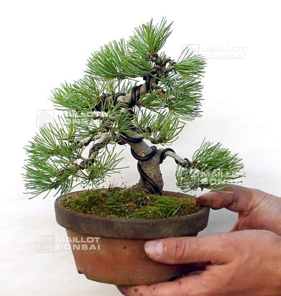 Galerie photos la boutique maillot bonsai le sp cialiste du bonsa japonais - Taille pommier du japon ...